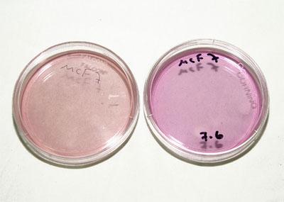 שתי צלחות לגידול תאים שמכילות מצע גידול המכיל אינדיקטור ל-pH