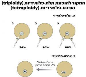 המקור להופעת תלת - פלואידיות (triploidy) וארבע פלואידיות (tetraploidy)