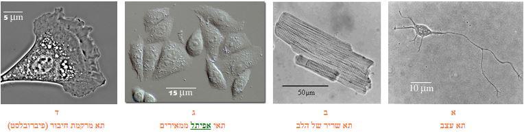 תאים כפי שהם נראים במיקרוסקופ אור