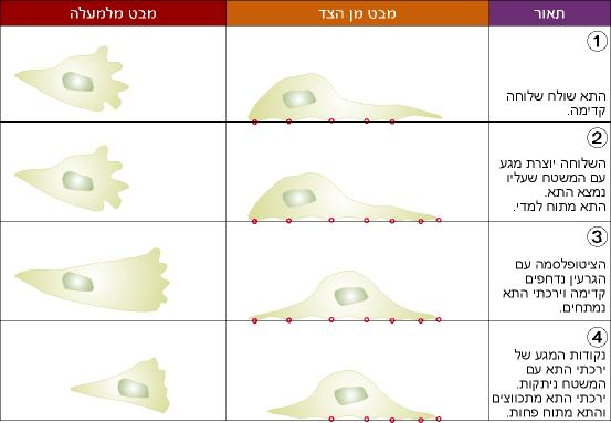 שלבים אופייניים בתנועה של תאים: 1. התא שולח שלוחה קדימה. 2. השלוחה יוצרת מגע עם המשטח שעליו נמצא התא. התא מתוח למדי. 3. הציטופלסמה עם הגרעין נדחפים קדימה ויכרתי התא נמתחים. 4. נקודות המגע של ירכתי התא עם המשטח ניתקות. ירכתי התא מתכווצים והתא מתוח פחות.