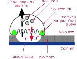 היצמדות של תא מפרק עצם לאזור פגום