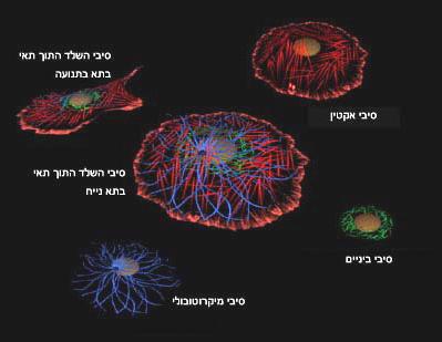 שלושת מרכיבי השלד התוך תאי בתא