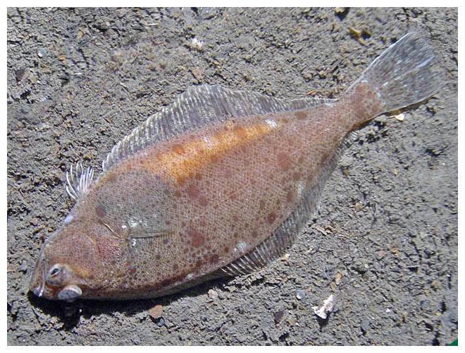 floundernorway1