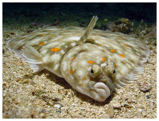 דג סול שטוח על הקרקע