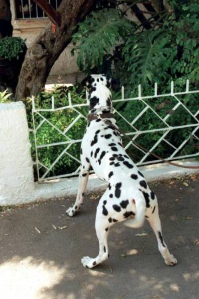 הכלב מנמיך את גובה גופו