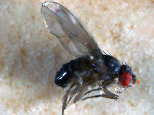 בתמונה זבוב שחור עם עיניים אדומות