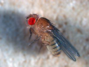בתמונה זבוב בצבע חום בהיר בעל עיניים אדומות.