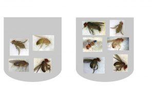 מבחנה 1 6 זבובים עיניים גדולות מבחנה 2 4 זבובים ,שניים עיניים קטנות מתוכם