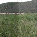 מבט אל התעלה הערוץ הטבעי העובר בין הקנים בנחל תנינים