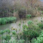 גומא ואירוס ענף בתעלה בשמורת החולה