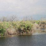 גומא פפירוס במי האגם שמורת החולה